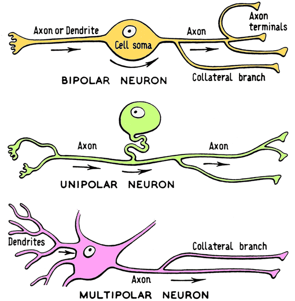 What are the differences between unipolar bipolar and multipolar unipolar neurons as depicted above have an axon going towards and from the soma this is also known as having a single neurite these cells can branch to ccuart