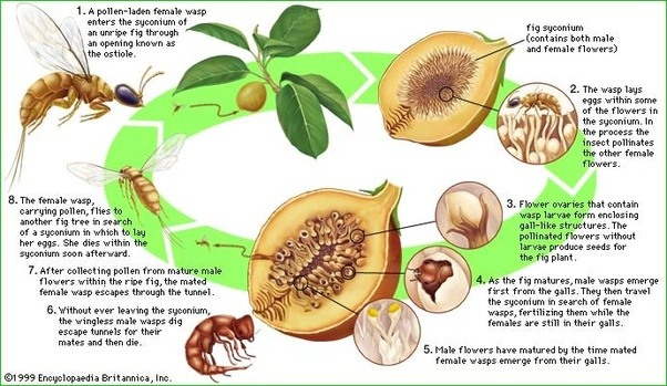 How Are Fig Trees Pollinated Quora