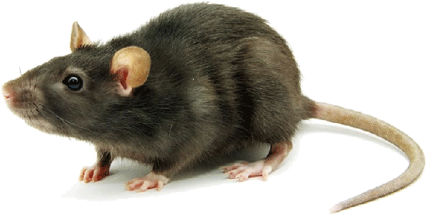 Is there any way you can get rid of rats? - Quora