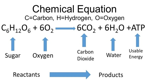 What is the output of cellular respiration quora note values of 36 to 38 atp per starting glucose are outdated ccuart Image collections