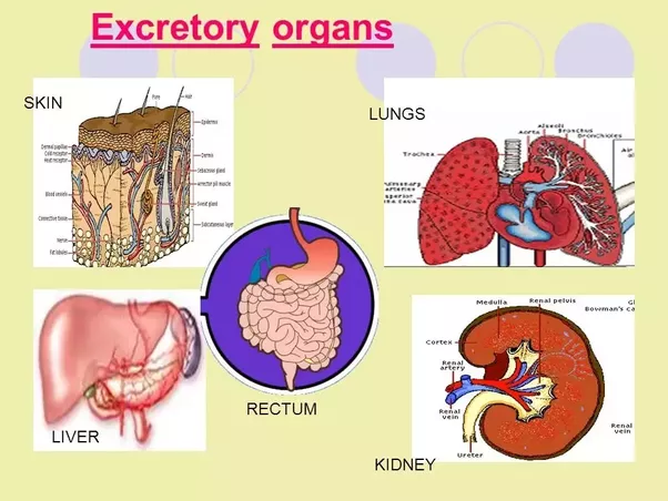 Which Is The Most Important Excretory Organ In Our Body Quora