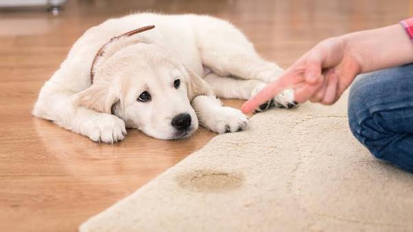 Dog Urine Odor Out Of Carpets