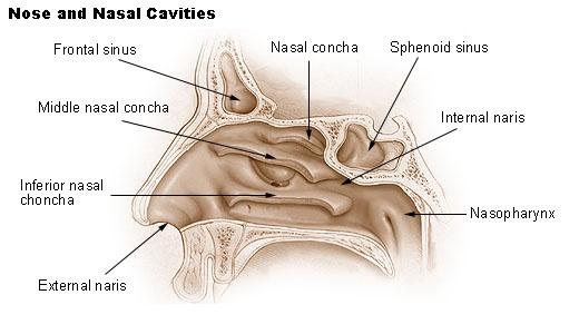 Human Sinus Cavities Diagram Data Wiring Diagrams