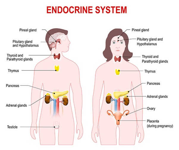 What are some examples of endocrine glands? - Quora