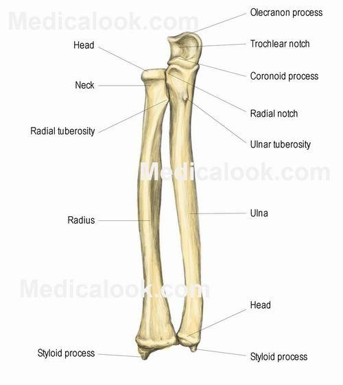 Which joints are present between radius and ulna at the upper end ...