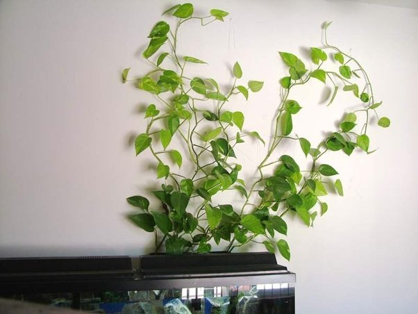What Plants Should I Put In My Betta Fishs Tank Quora