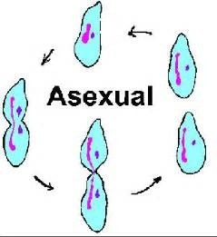 What is asexual reproduction in