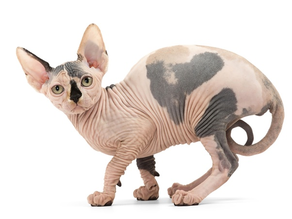Are Hairless Cats Good For People With Allergies Quora