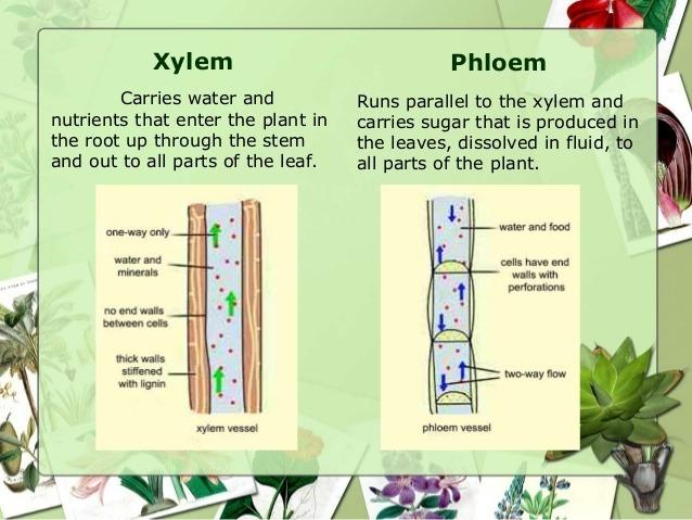 Vascular tissue in plants
