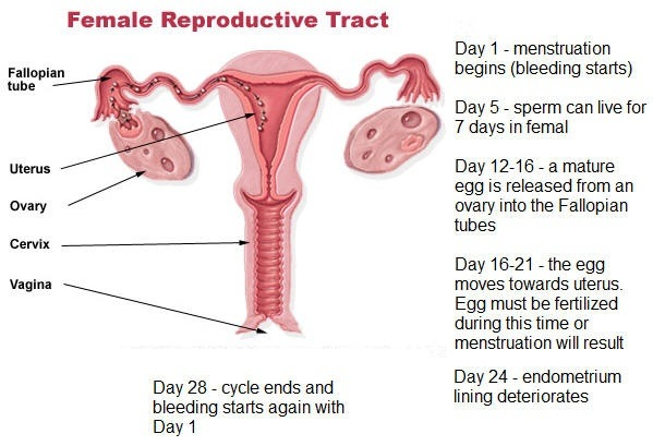 Does implantation bleeding happen at the same time around periods ...