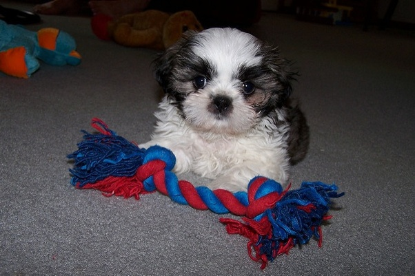 buying shih tzu puppy what is the price of a shih tzu puppy in india quora 2219