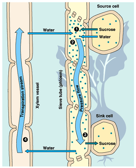 different cells of xylem and phloem