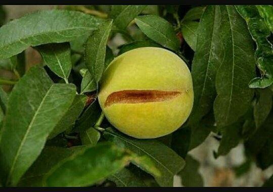 what causes oranges to split on the tree