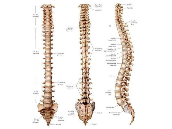 How Many Vertebrae Are In A Human Spine Quora