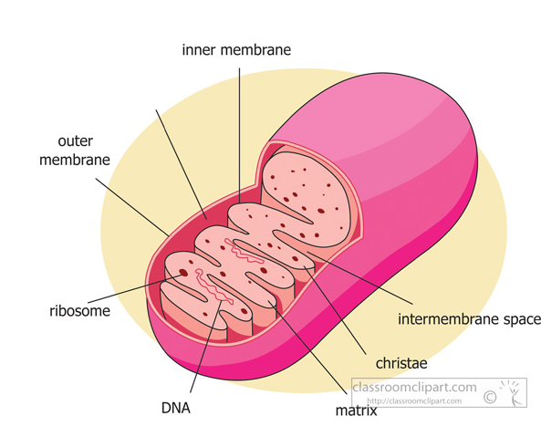 a description of mitochondria tiny organelles found in nearly all eukaryotic cells This lesson will focus on the major organelles that are found inside of eukaryotic cells organelles in cells: the mighty mitochondria are the organelles that.