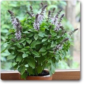 What is the scientific name of Basil? - Quora
