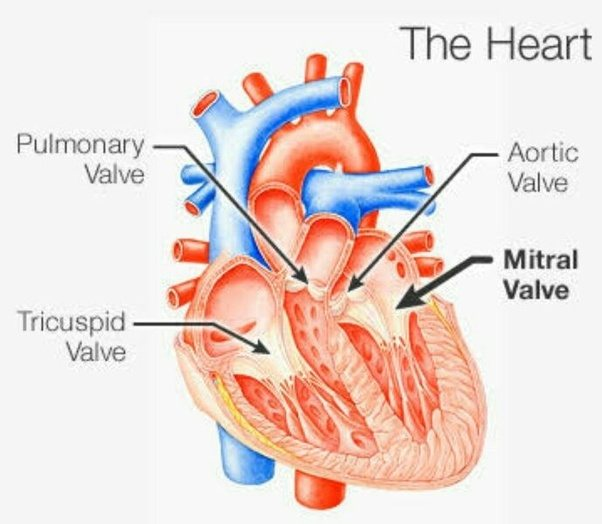 What Is The Reason The Left Side Of The Heart Has A Bicuspid And