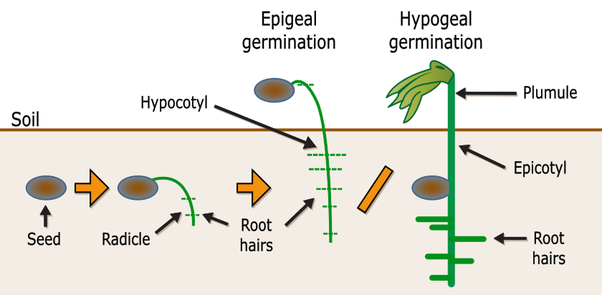 What Are Some Epigeal And Hypogeal Plants Quora