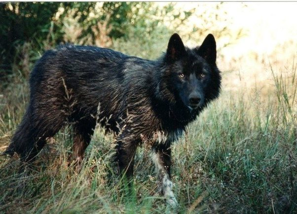Dog Breeds That Can Kill A Wolf