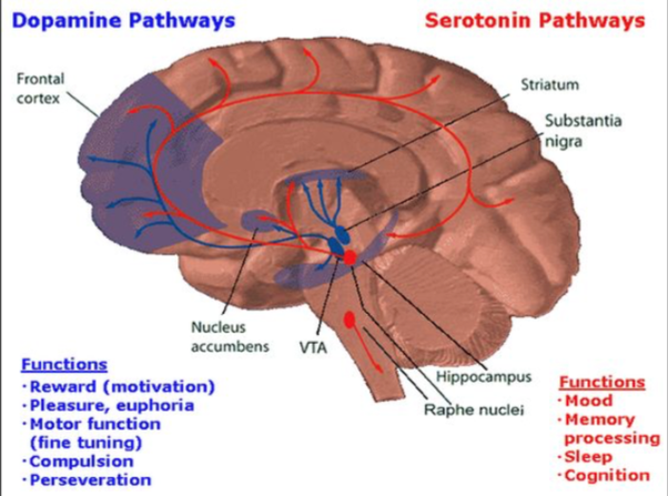 What is the relationship between the various neurotransmitters in all of these areas of the brain and more get affectedactivatedoverwhelmed when you put a substance into your body when you take a drug you are activating ccuart Image collections