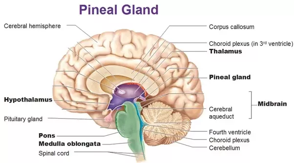 Why did René Descartes consider the pineal gland to be the place where the soul (or consciousness) resides? - Quora