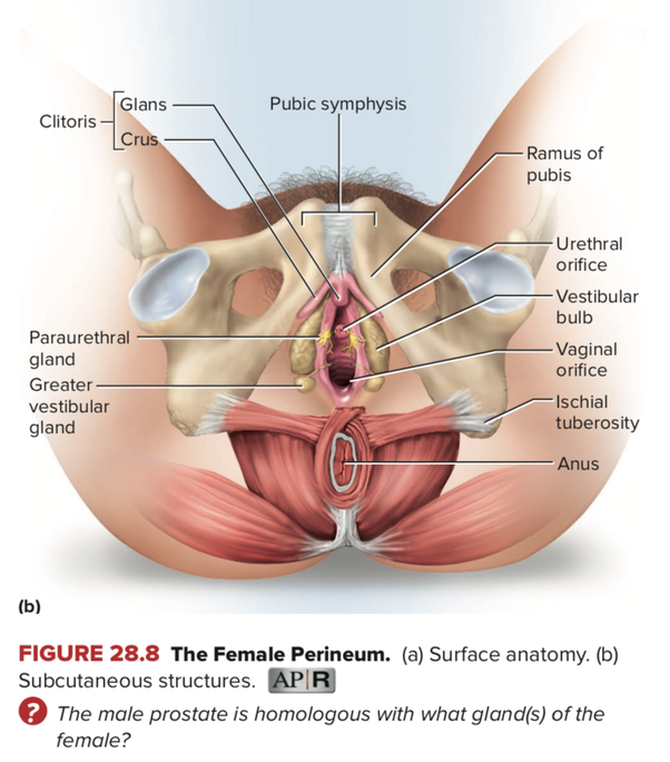 in lateral view, you can see they are far more extensive—all of the green  in this drawing  to the left in this figure is external (the labia and  urethral