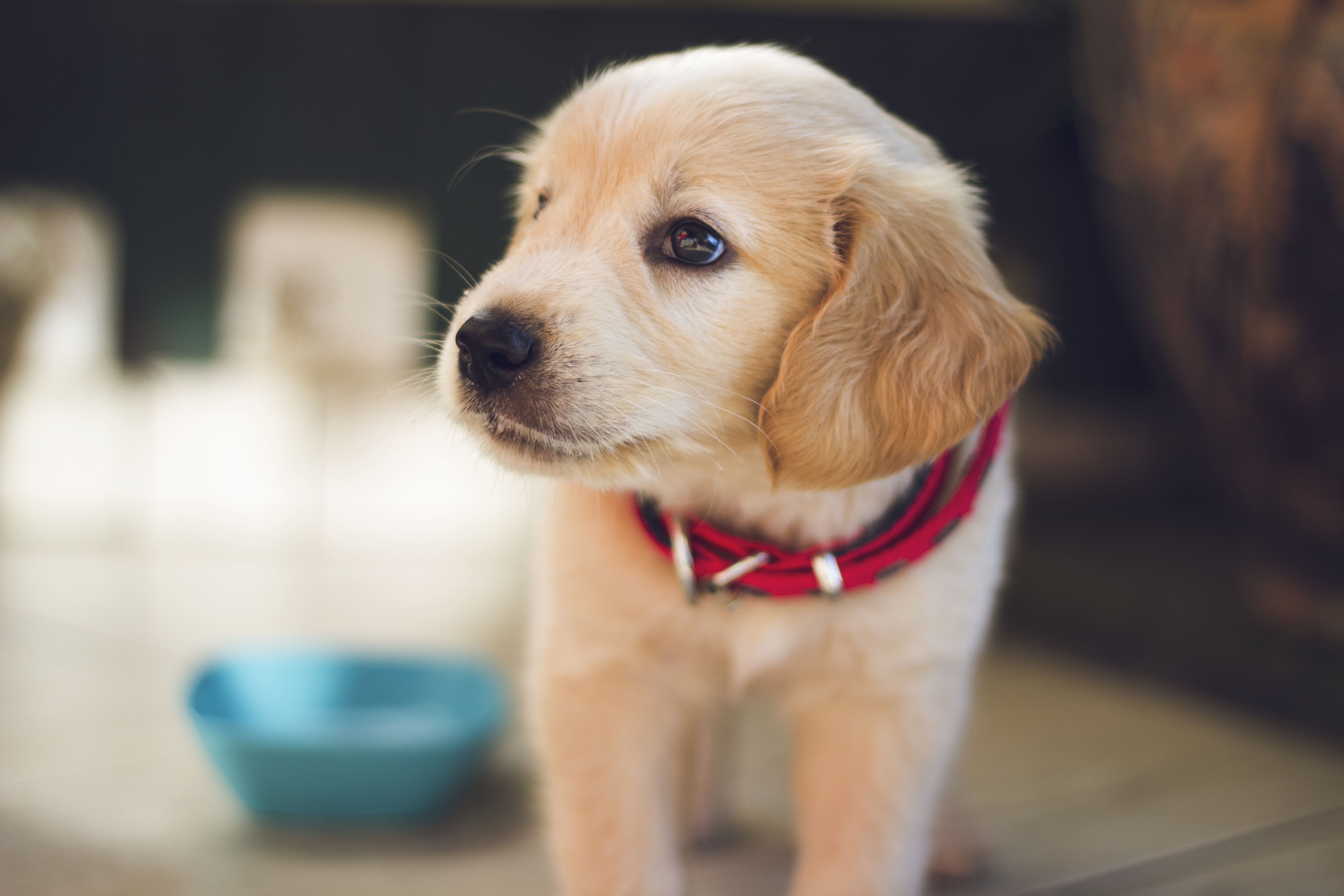 What Is The Price Of A Golden Retriever Puppy Quora