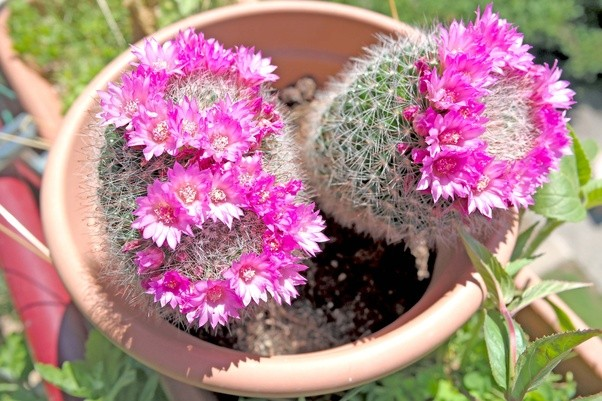 I have a cactus which is so small and it doesnt grow what can i do these two i have grown from small quarter sized clones from an old parent plant back in 2013 mammillaria zeilmanniana are quick to grow to sizeable plants mightylinksfo