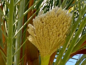 What external or physical features distinguish a male date palm tree a female date palm flower looks like that mightylinksfo