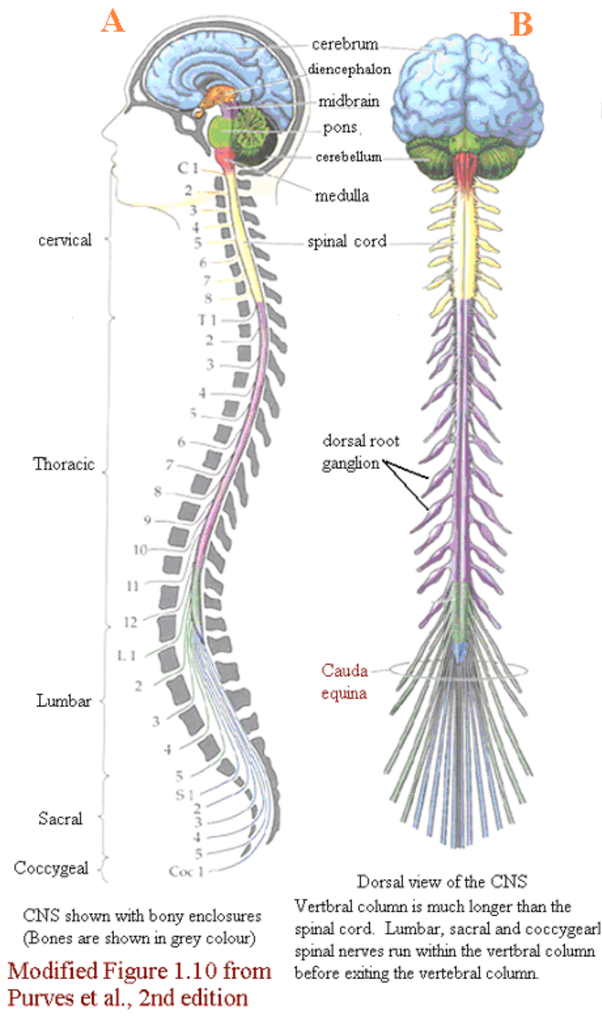 How to describe the function of the spinal cord in the nervous ...