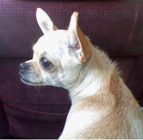What results when you mix a long and short hair Chihuahua