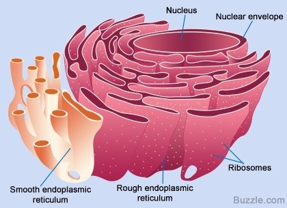 What does smooth endoplasmic reticulum do in cells? - Quora What Is Endoplasmic Reticulum