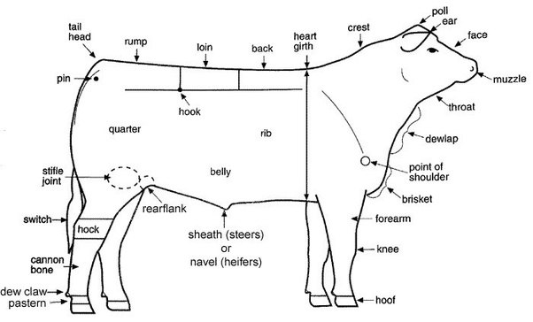 Cow Anatomy Diagram: What Are The External Parts Of A Cow?