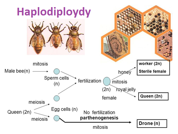 haplodiploidy sex determination system in bees in New Mexico