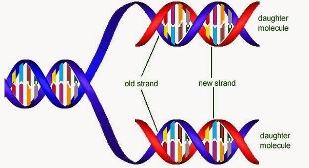 this type of replication works thanks to dna base pairing if you look at this picture you can see what im talking about