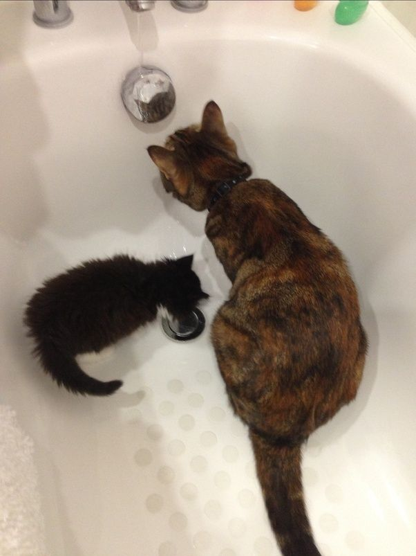 Why are cats afraid of water? Why do most cats fear/hate getting ...