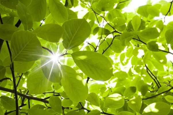 What is chlorophyll and where is it located in a plant ...