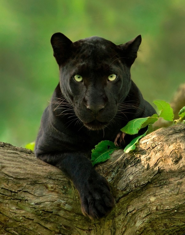 Where can we see black panthers in India? - Quora - photo#22