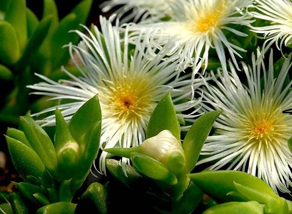 What are the effects and dosage of the Kanna sceletium