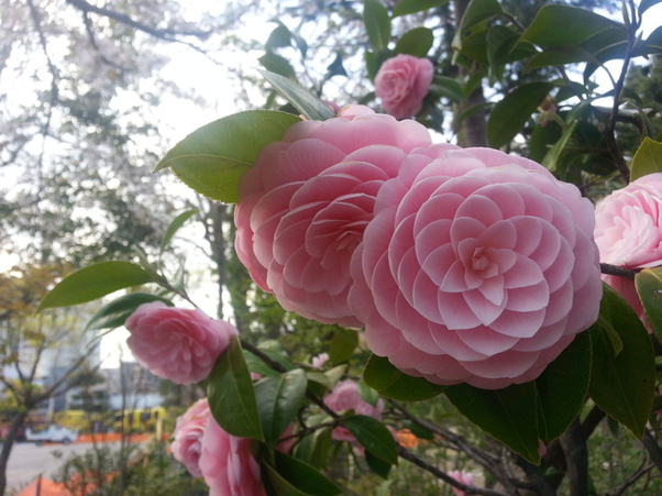 What kind of a shrub is this with pink bowl shaped flowers and this flower isnt weird in shape or color but rather in its perfect spiraling petals they grow only at altitude of 1000 feet or higher and bloom in the mightylinksfo