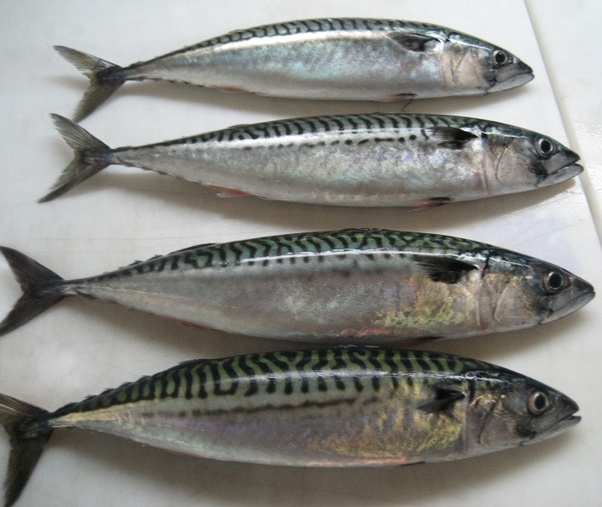 What is a mackerel fish in Telugu? - Quora