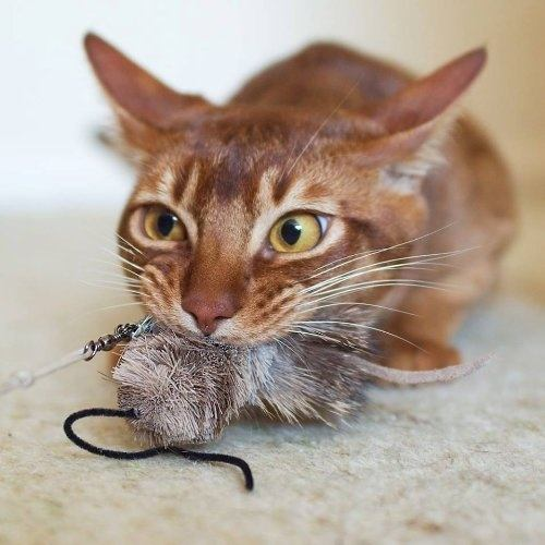 Amazing The Laser Pointer Is A Great Exerciser And I Didnu0027t Want To Stop Using It  Completely. My Solution Is To Toss A Toy (a Mouse Or Ball Of Aluminum Foil  Work ... Awesome Ideas