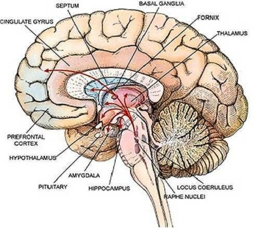 What do brains have inside of them quora ccuart