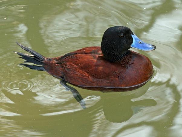 gli uccelli hanno un pene come eccitare correttamente il pene
