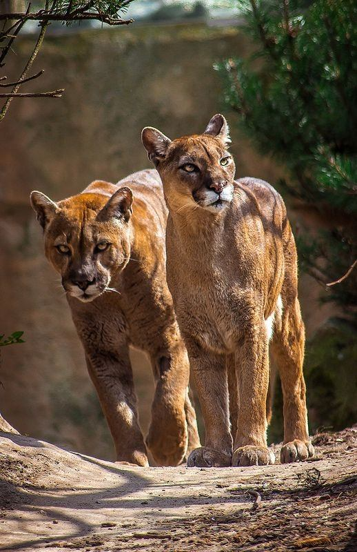 What Is A Female Cougar Called