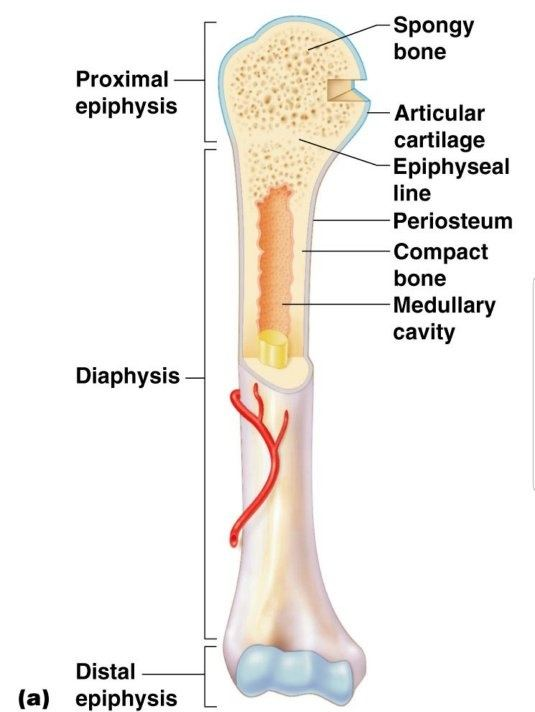 What Is The Shaft Of A Long Bone Called Quora