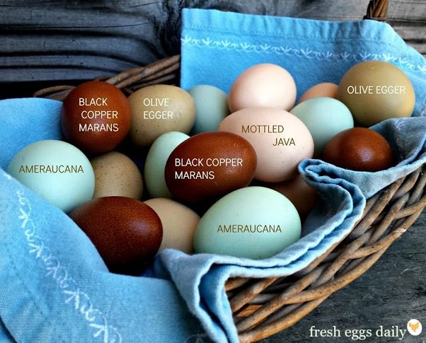 How Many Eggs Does Rhode Island Reds Lay