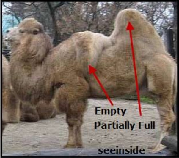 What Is The Capacity Of Water A Camel Can Carry In Its