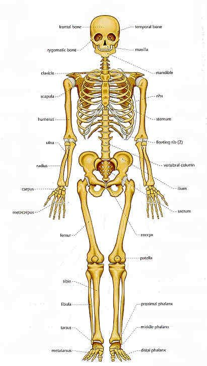 How many bones are in the human body quora the last is the irregular bones which are the bones that do not match with other bones in the categories ccuart Image collections