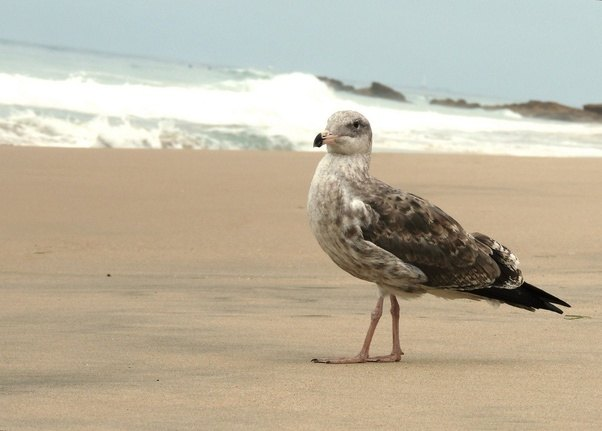 gull Adult sea